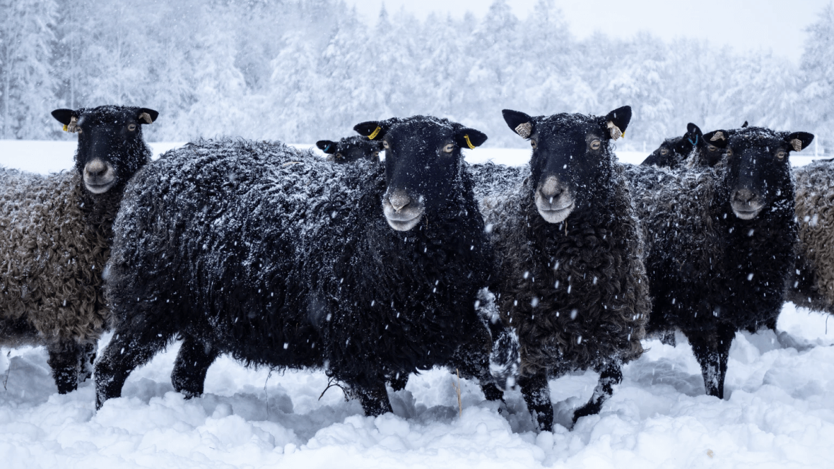black sheep in snow depicting swedish and russian winter