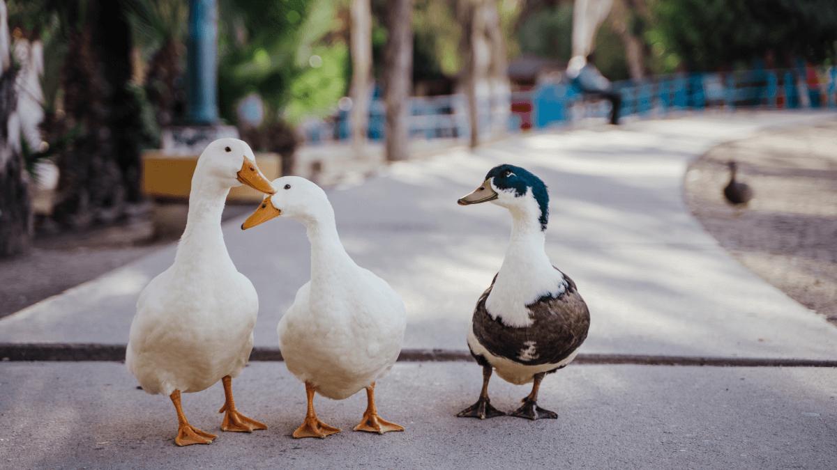 three ducks walking down the sidewalk french expressions