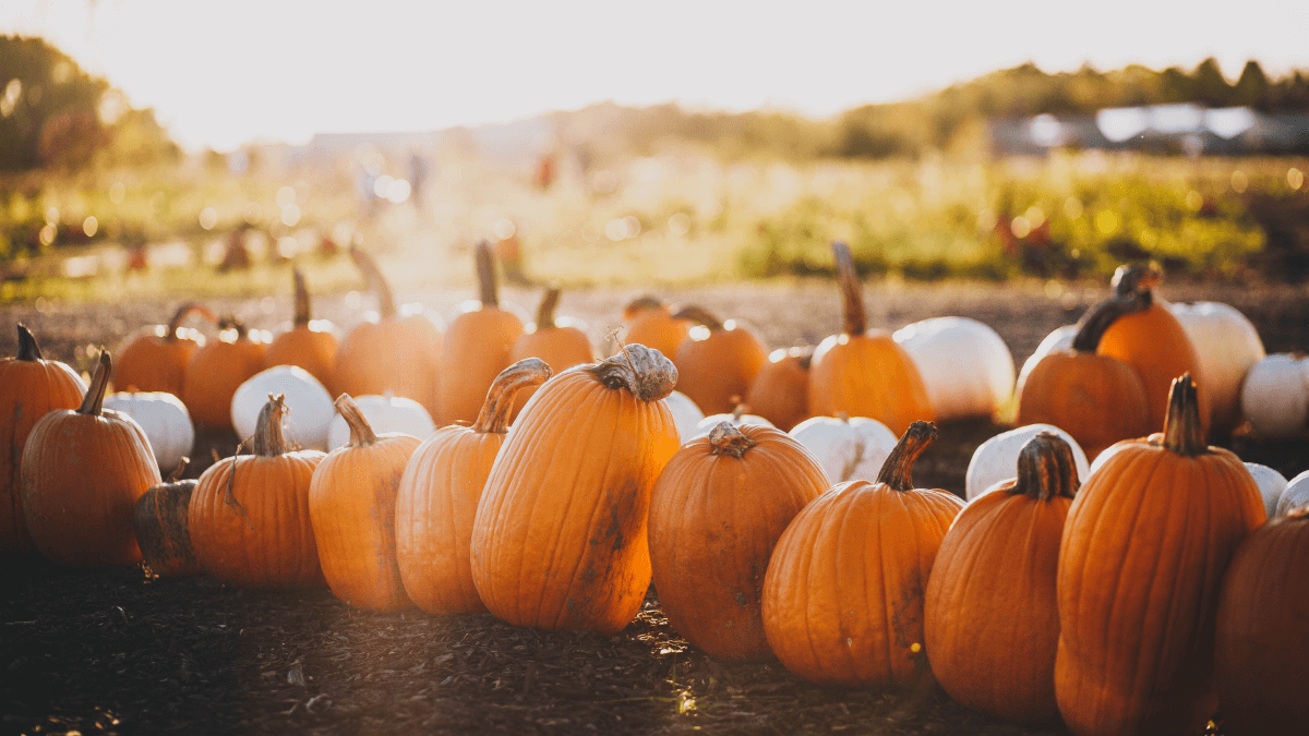field of pumpkins with sunlight filtering through fall traditions around the world