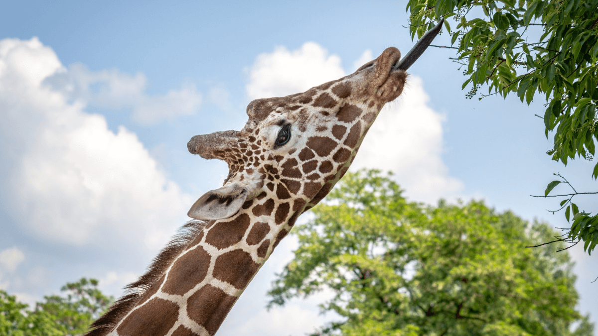 A giraffe stretching out its tongue to represent the longest word in the world