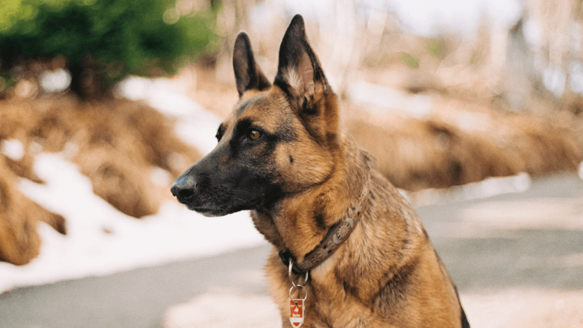 Polyglot Pooches: Why Many Dogs Are Trained In Other Languages