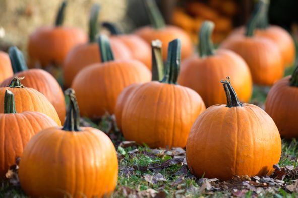 History of Pumpkins — Connecticut Field