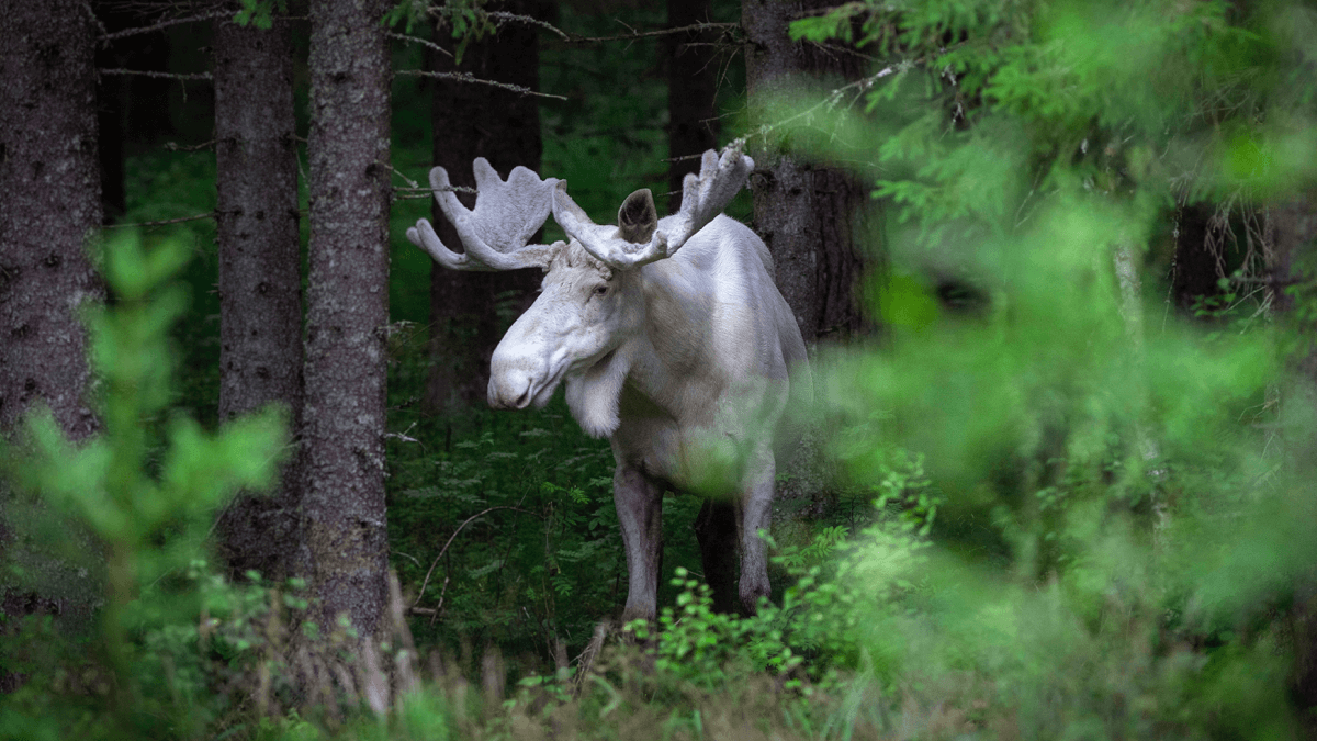 A forest elk standing in for animals in Swedish