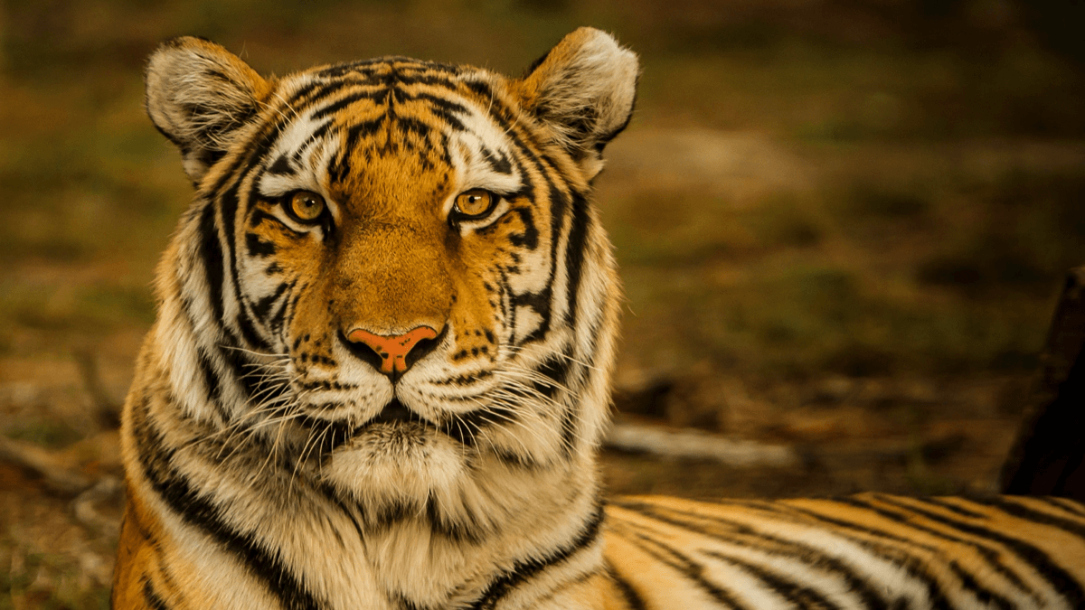 A tiger stares at the camera, representing animals in Indonesian