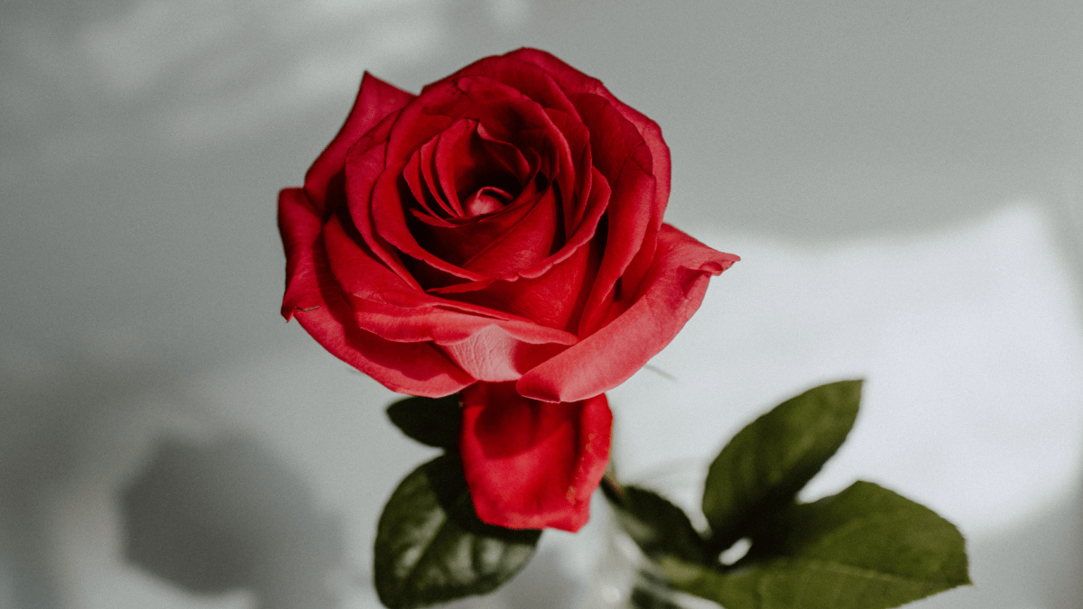 red rose on white background history of international women's day